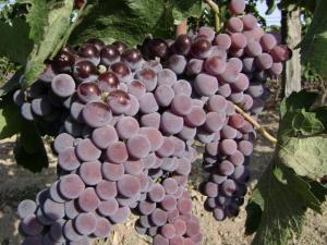 uva gaglioppo