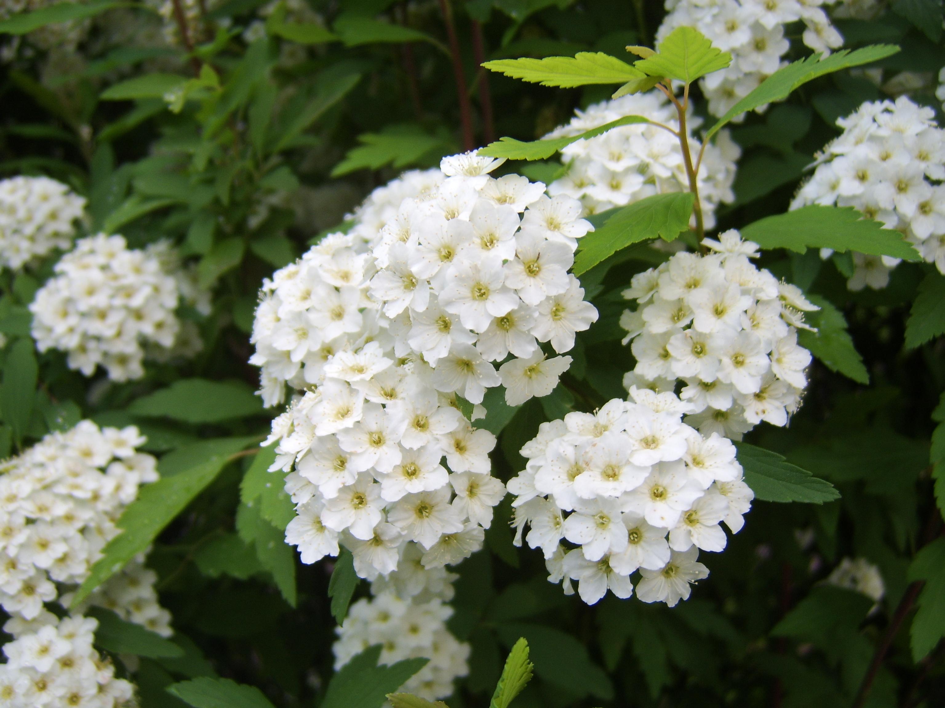 Terrauomocielo alla 20 fiera dei fiori di piancogno bs for Fiori piccoli bianchi