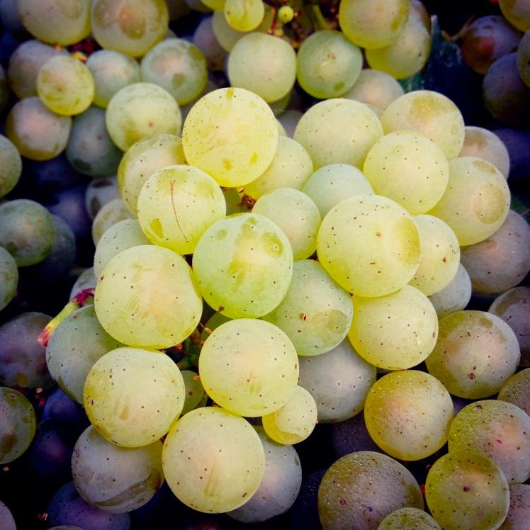 grapes, chardonnay, Franciacorta