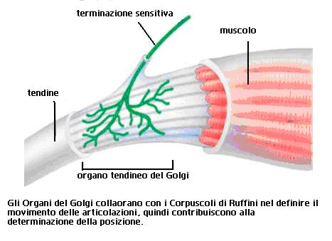 Organi del Golgi