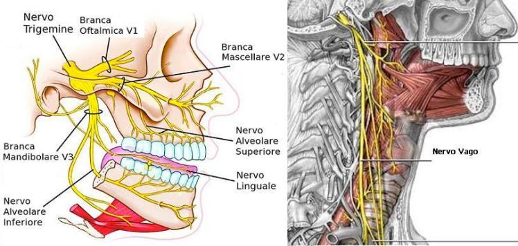 diramazioni trigemino nervo vago