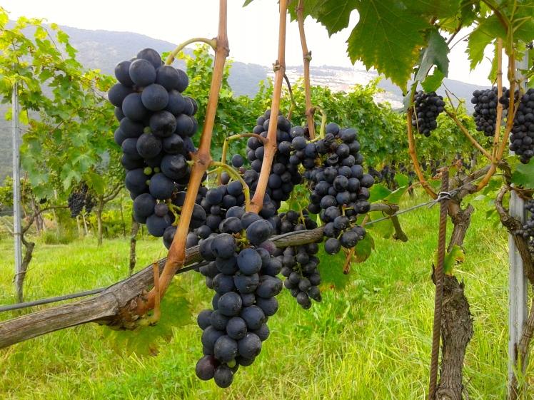grapes, uva, vineyard
