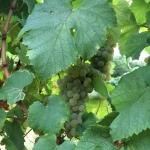 grappolo chardonnay