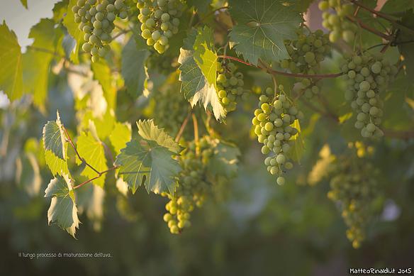 Il lungo processo di maturazione dell'uva