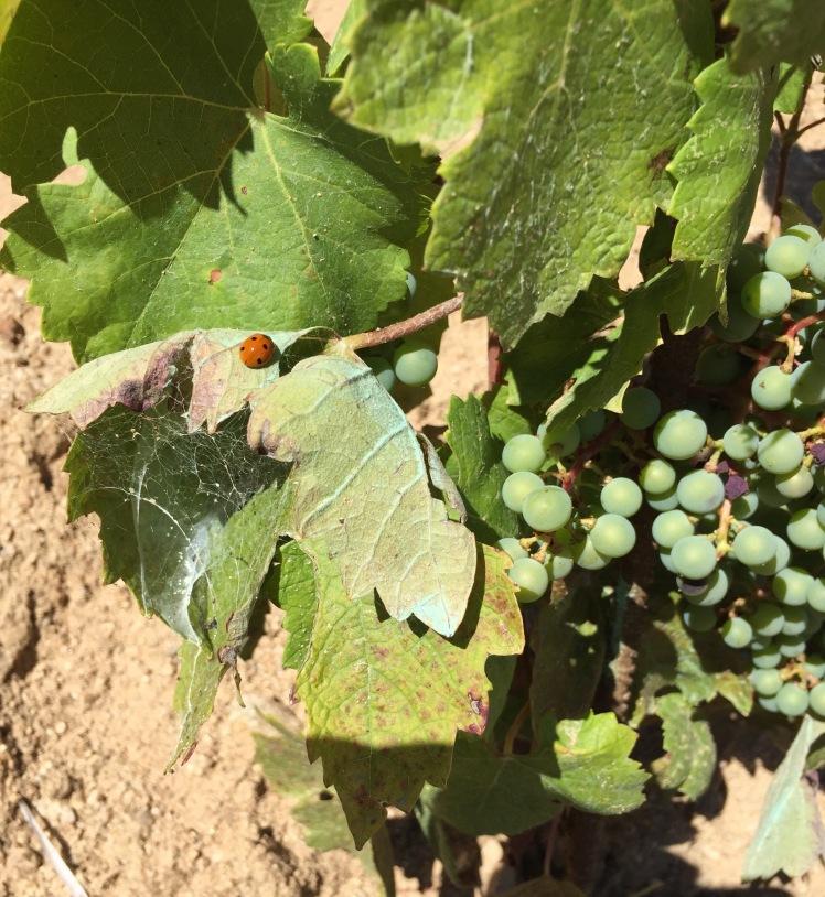 coccinella_ wine&sardinia